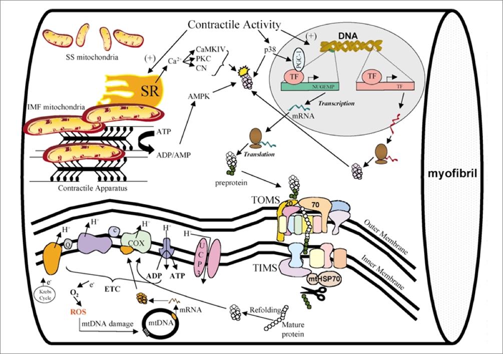 Introducción a la biogénesis mitocondrial estimulada por