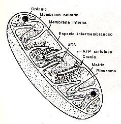 W14 further Solucion De Ejercicio additionally Mitocondria likewise Ley De Ohm additionally Index. on masa