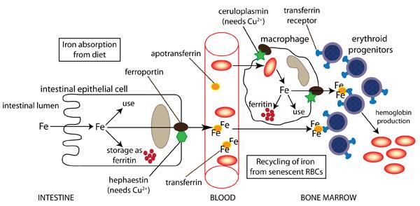 Cuatro impresionantes ejemplos de hermosa Metabolismo basale